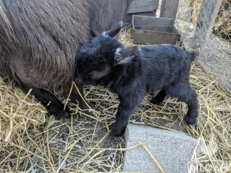 baby goat feeding itself