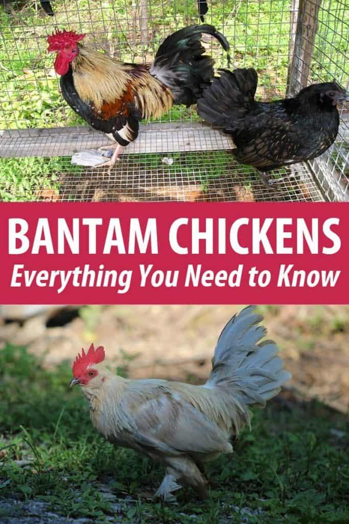 bantam chickens pinterest