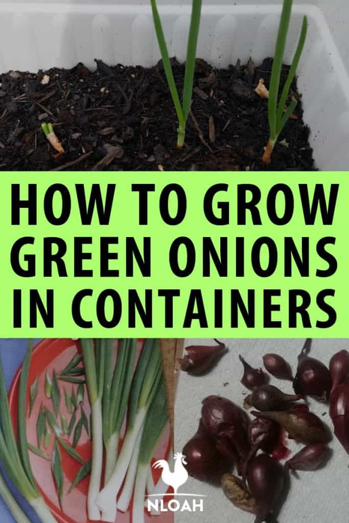 green onions in containers Pinterest
