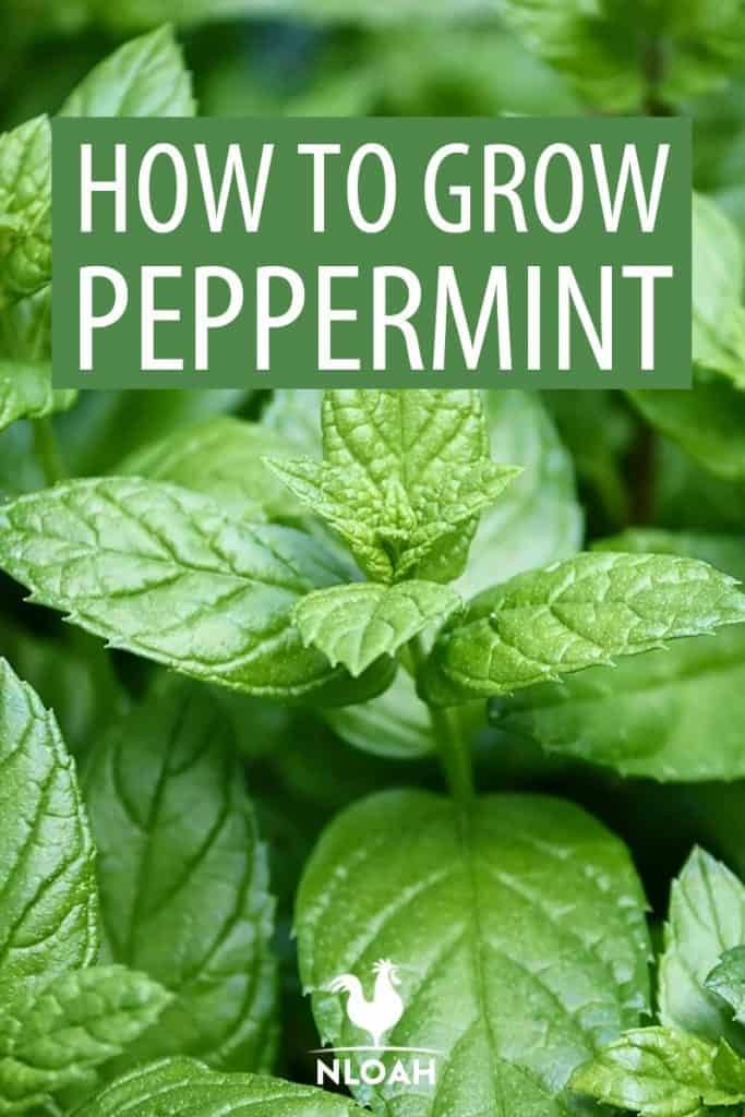 growing peppermint Pinterest