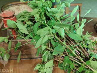 harvested jewelweed
