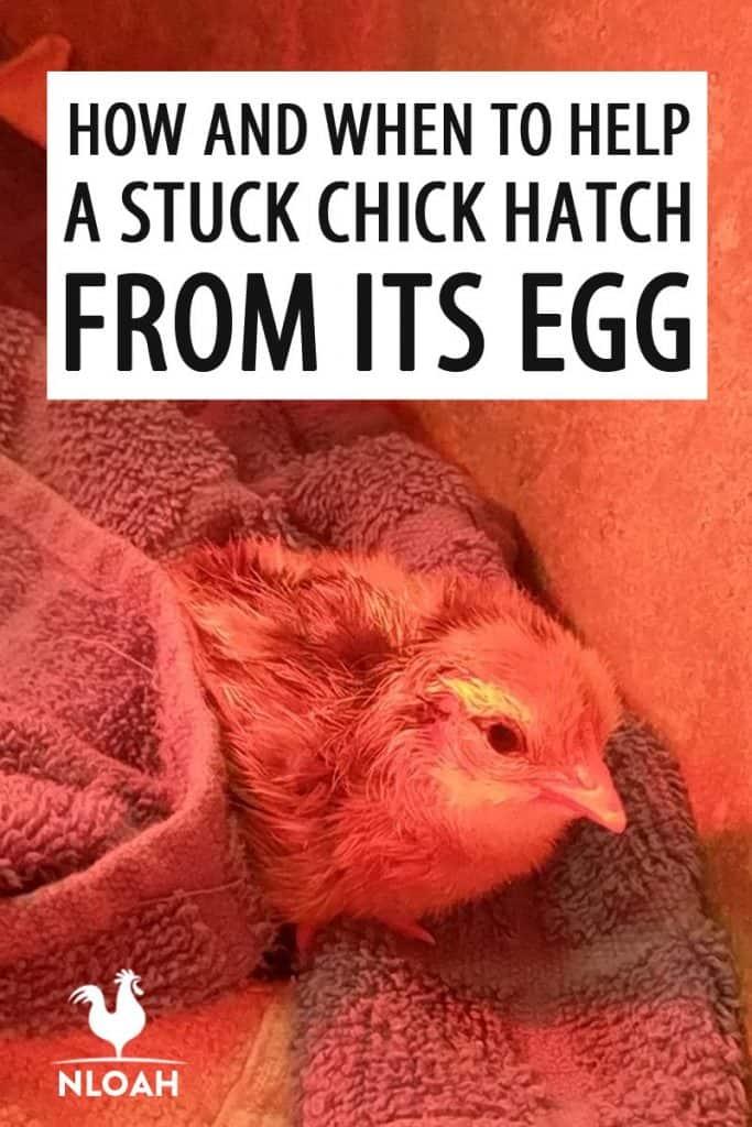 helping a chicken hatch Pinterest