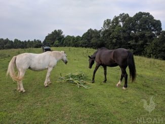horses on pasture eating corn plants
