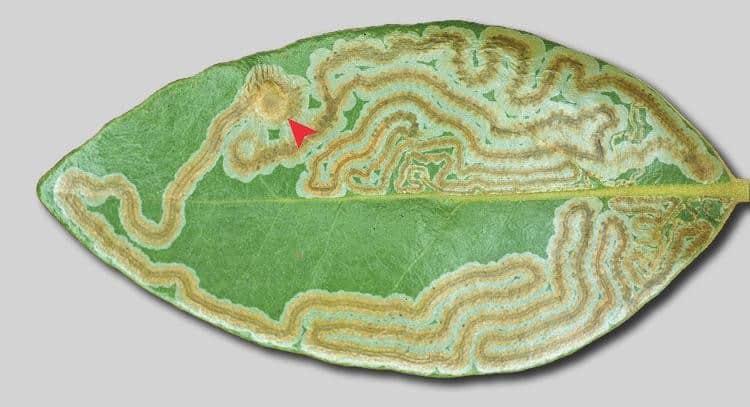 leaf miner pupal crypt