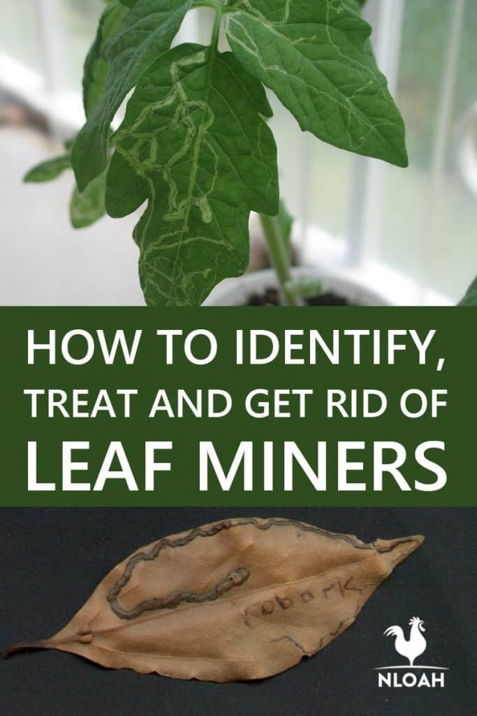 leaf miners Pinterest
