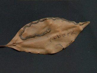 leaf with miner damage