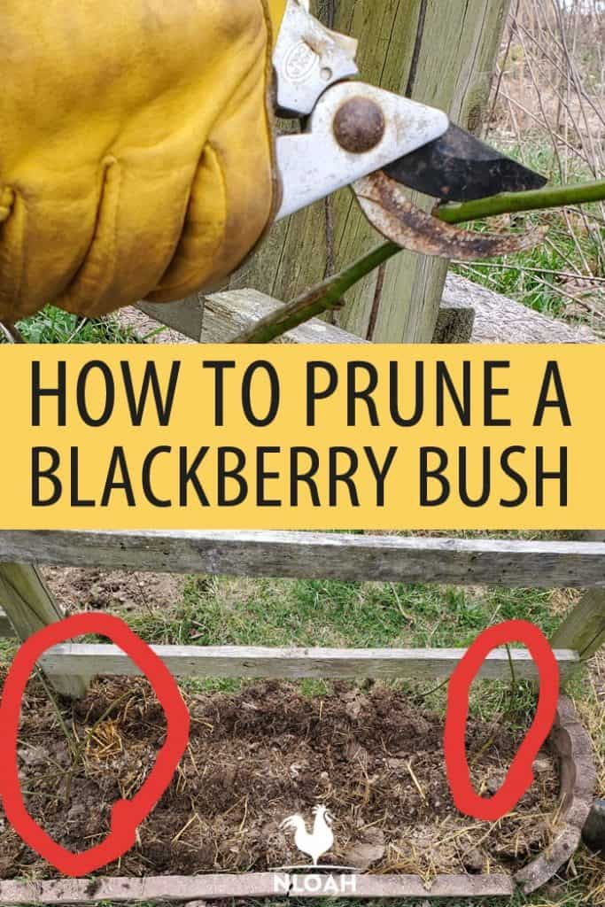 blackberry bush Pinterest image