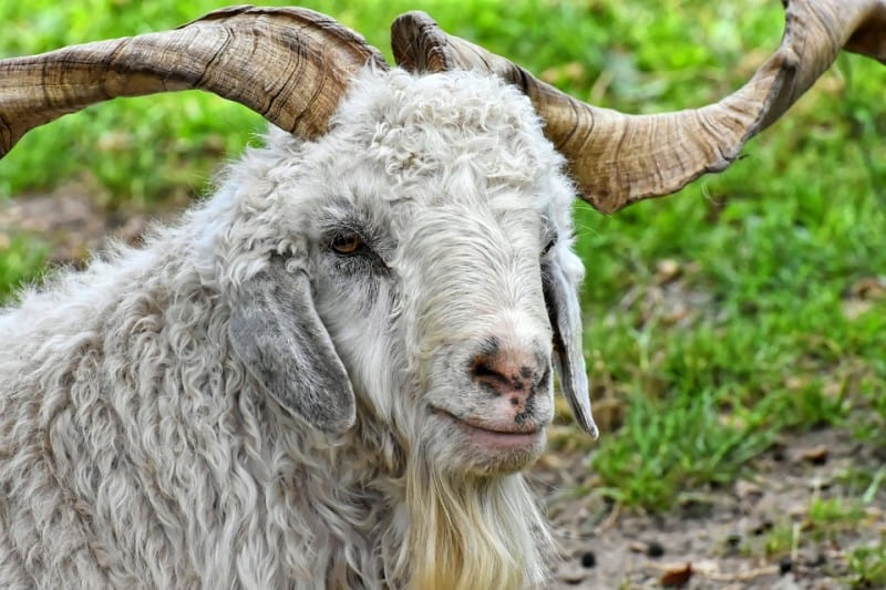 cashmere billy goat