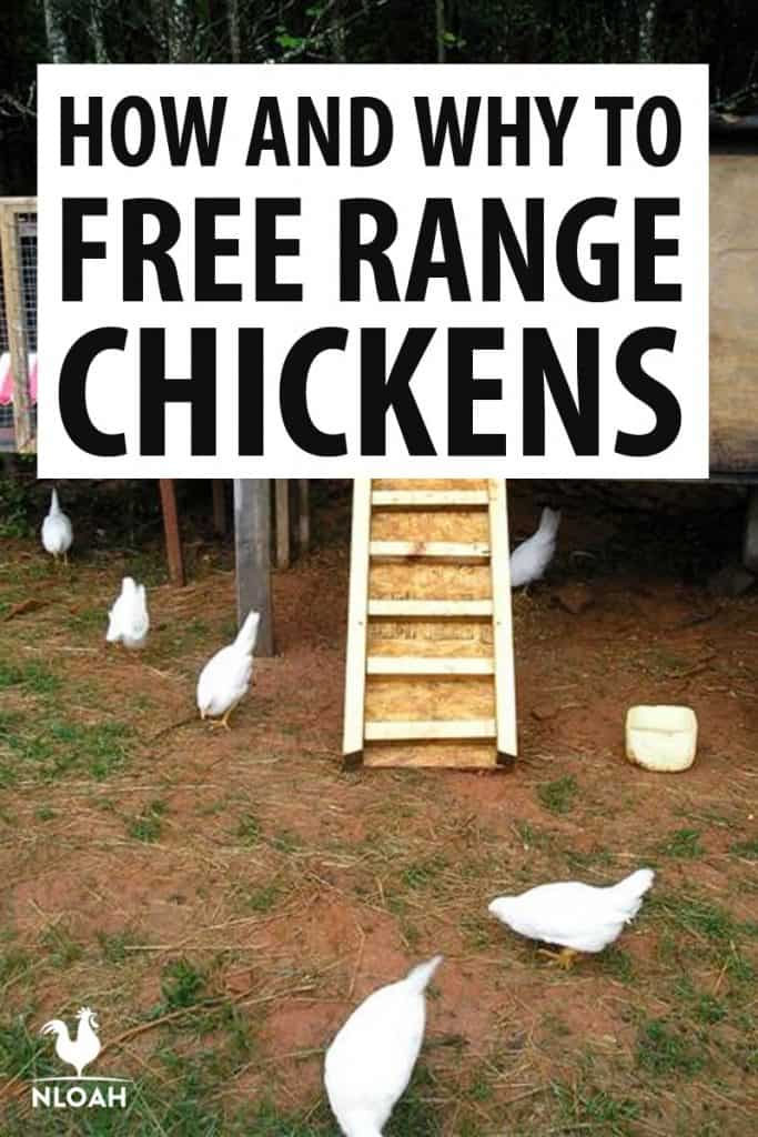 how to free range chickens Pinterest image