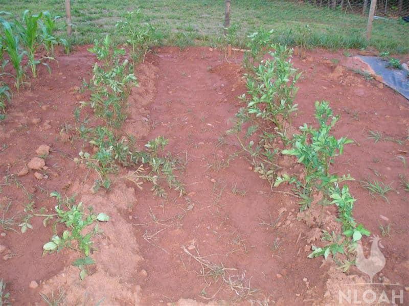 potato plants progress
