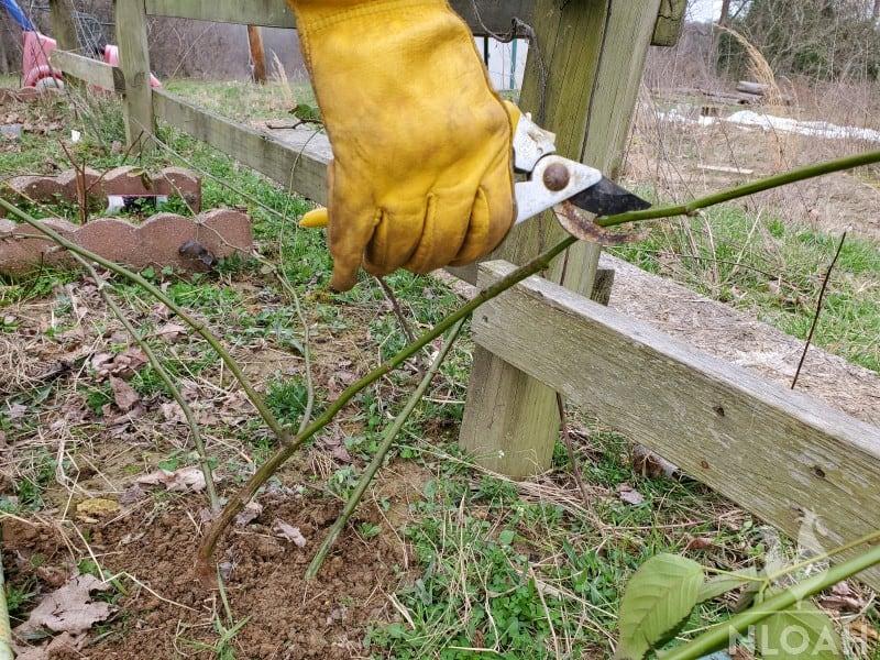 transplanted bush