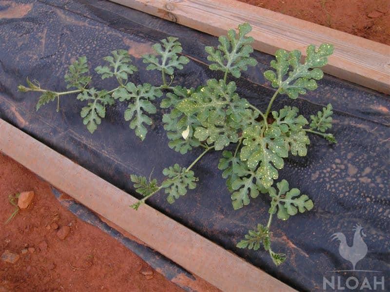 waterlemon plant in raised bed