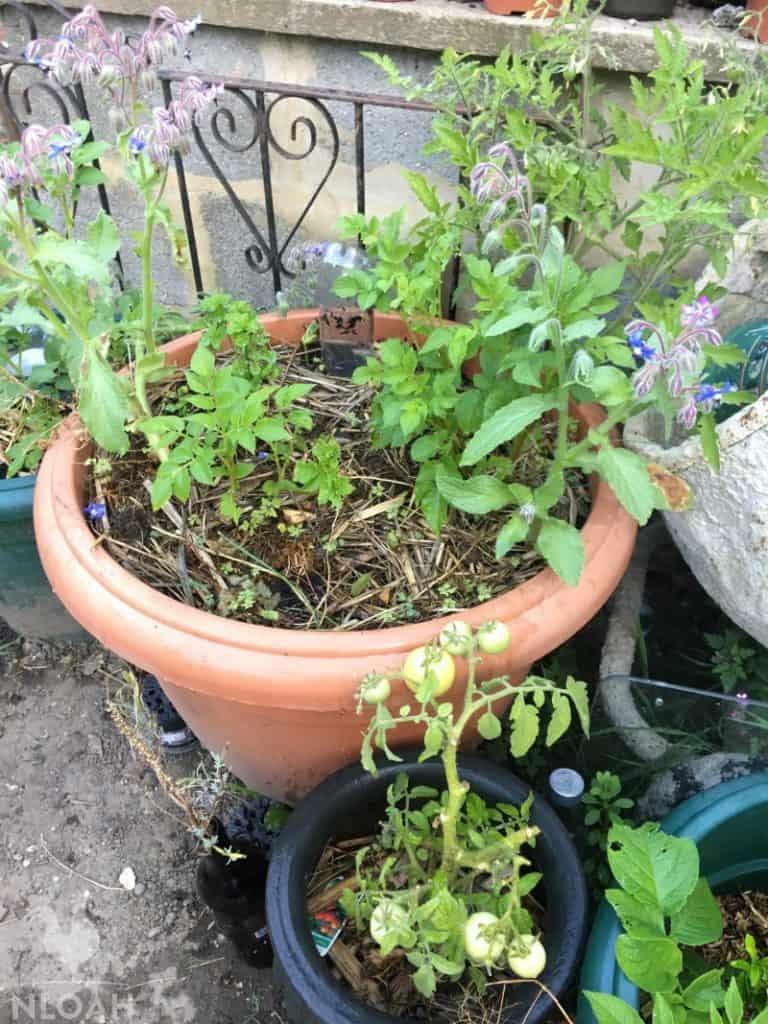 Pot plant companions: Borage, Oregano, Potatoes, Tomatoes, Lemon mint, Sage, Bean