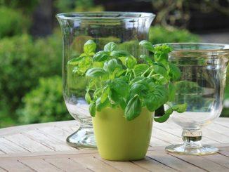 basil growing in a mug