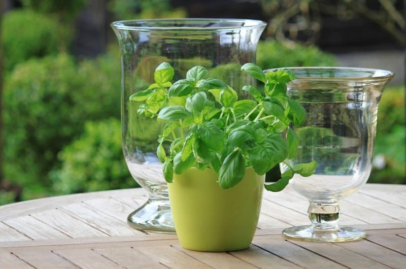 basil growing in a mug