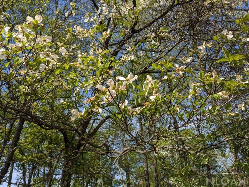dogwood tree with flowers