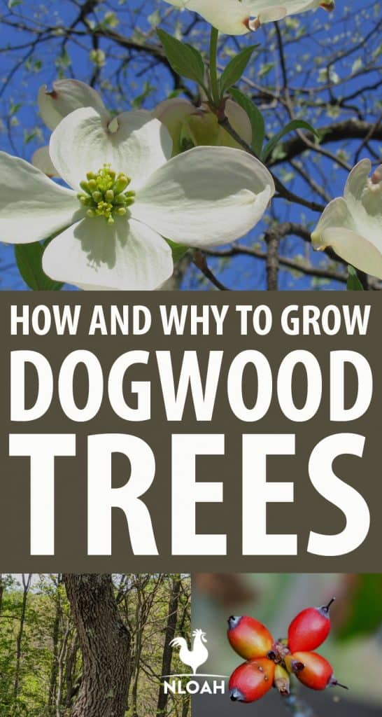 dogwood trees pinterest