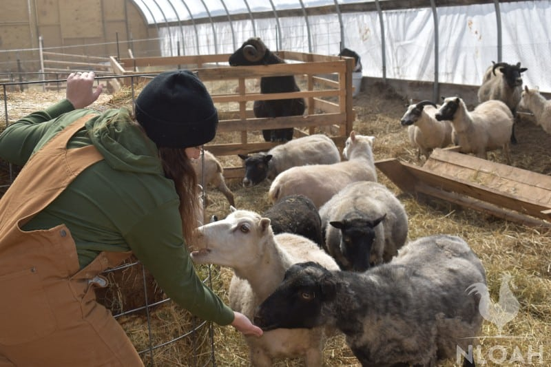 feeding sheep inside hoophouse