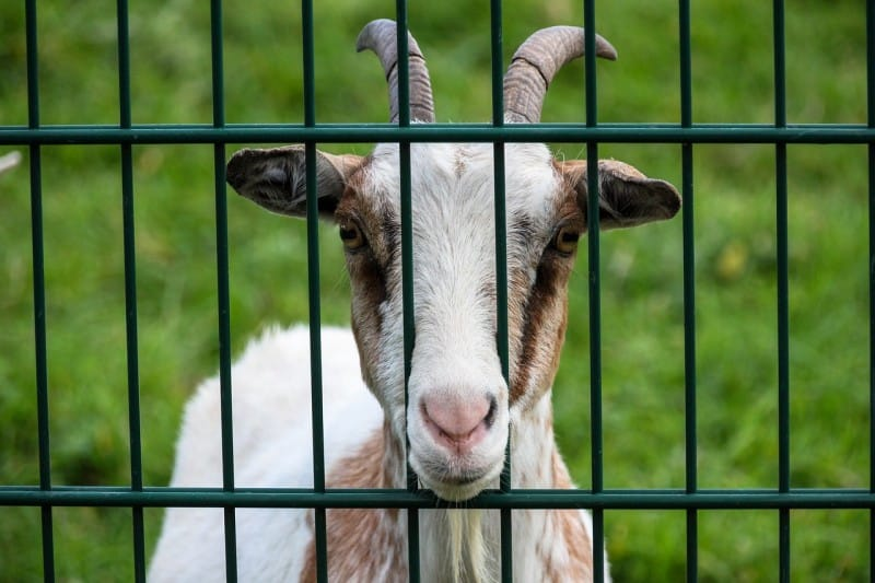 goat behind goat fence enclosure