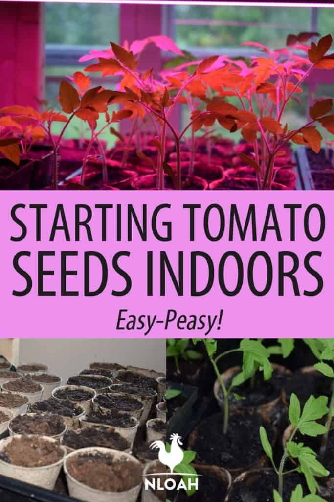 indoors tomato seedlings Pinterest