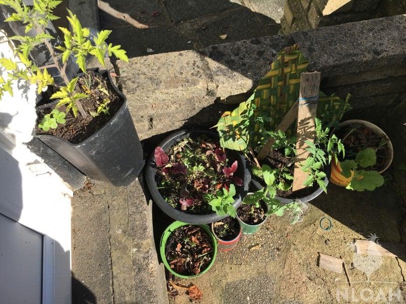 Pot companion plant tomato pea beetroot broccoli melon leek