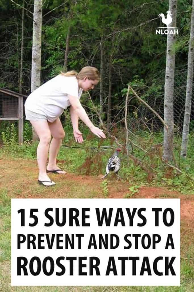 stopping a rooster attack pinterest