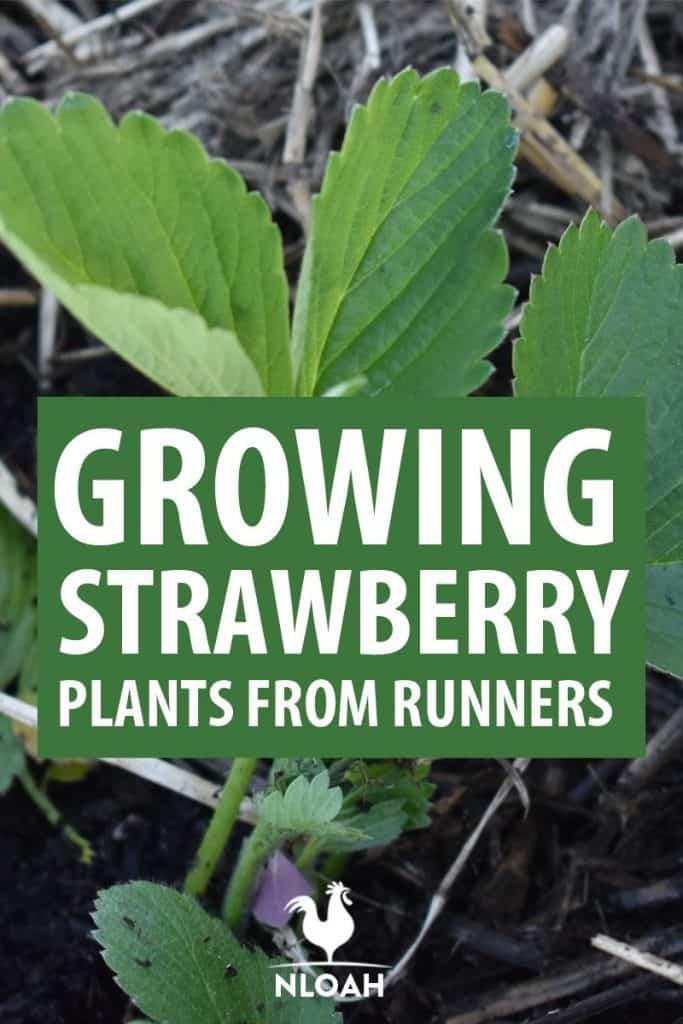 strawberry runners Pinterest