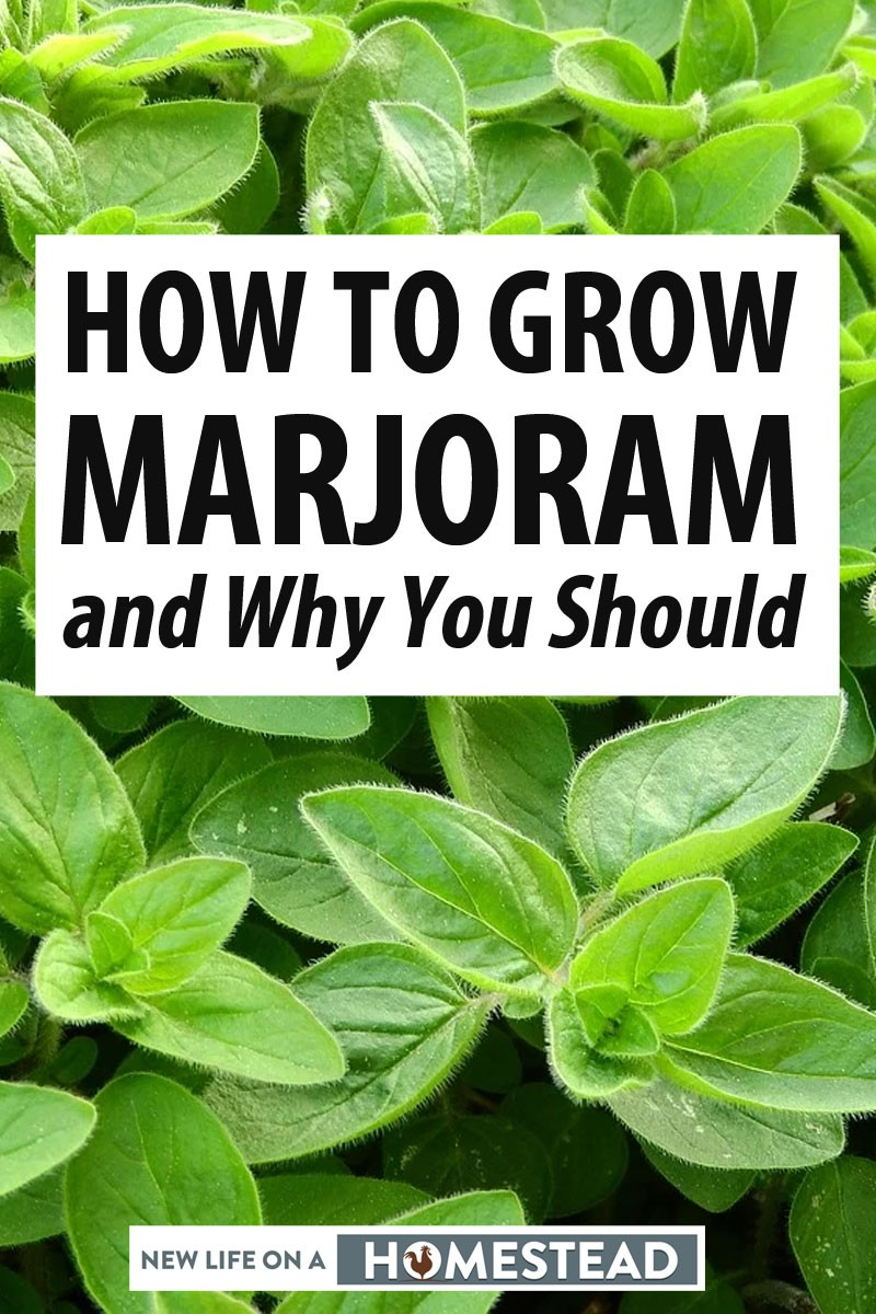 How Many Marjoram Seeds Per Pot Can Be Fun For Everyone