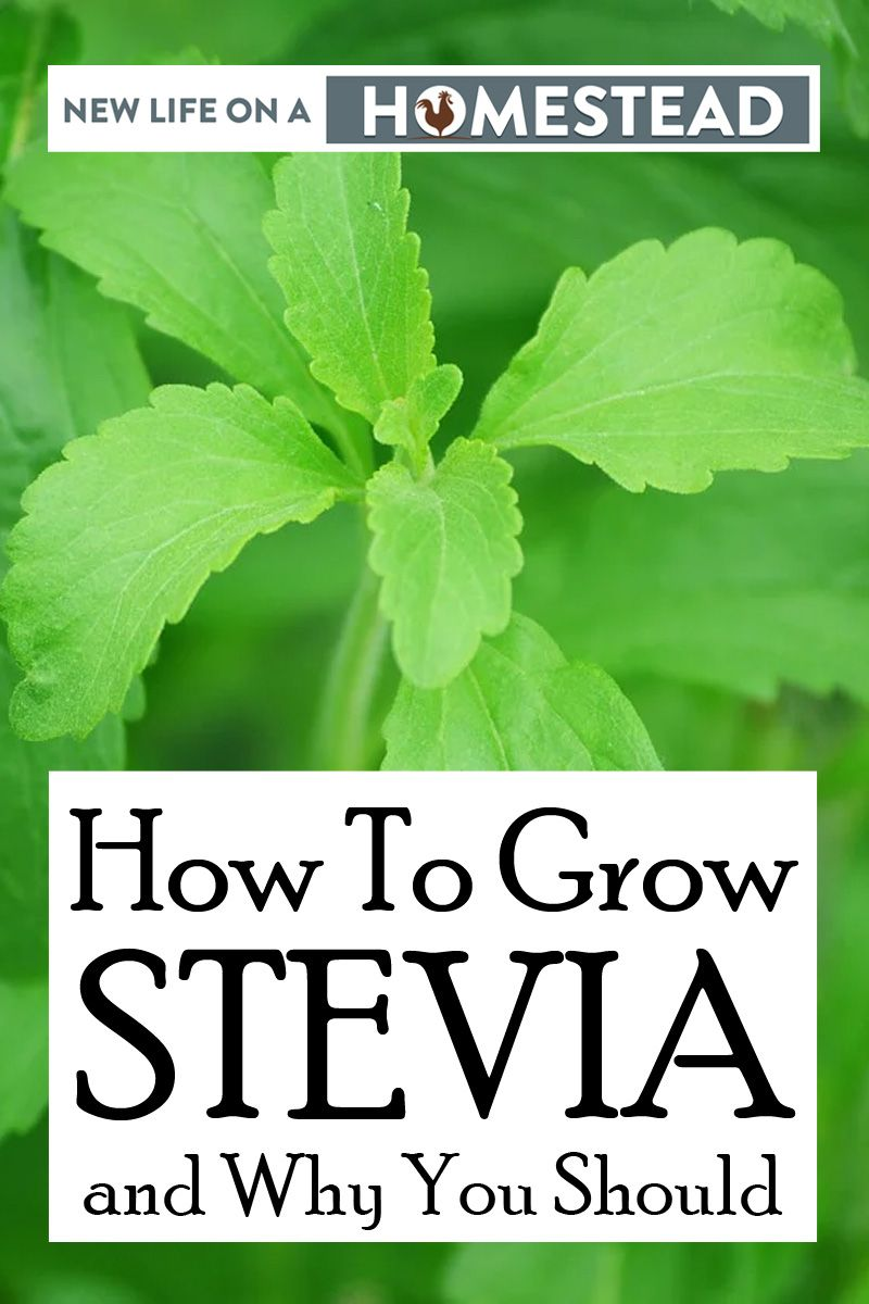 growing stevia Pinterest image