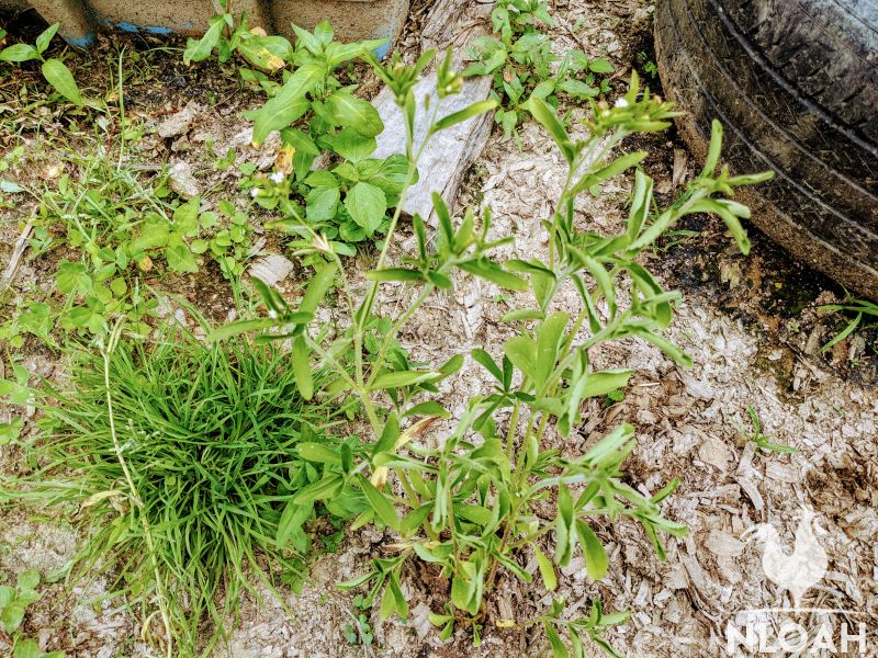 my stevia plant