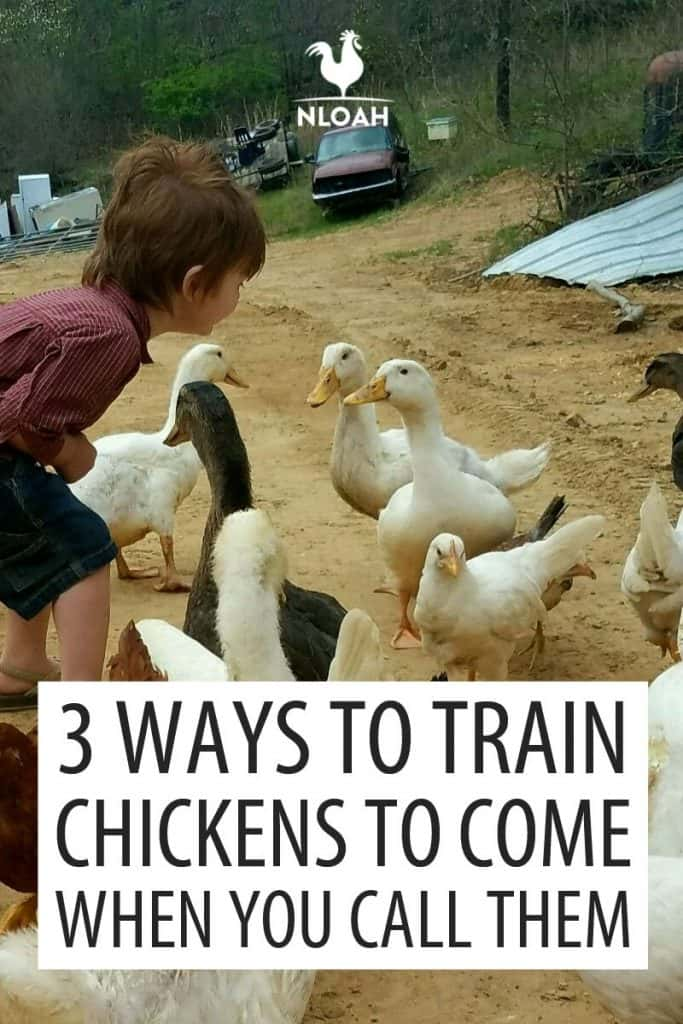 training your chickens Pinterest image