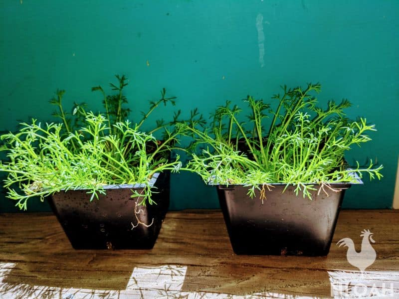 chamomile growing in containers