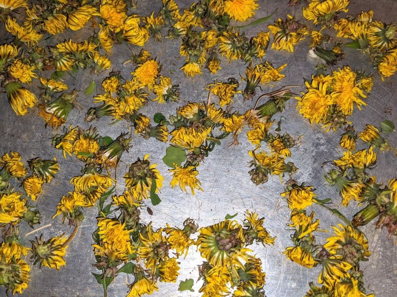 drying dandelions