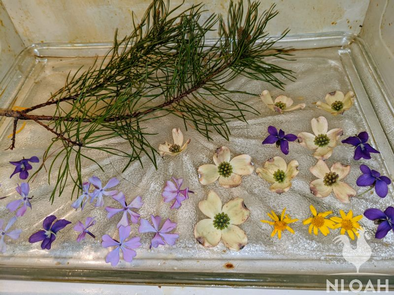 flowers and pine tree branch set out to dry in microwave