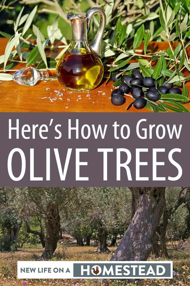 growing olive trees Pinterest photo