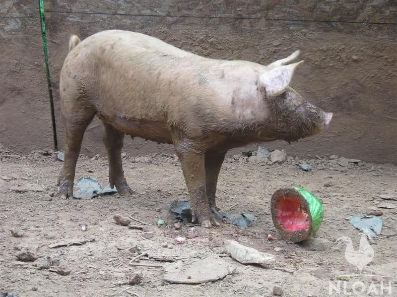 pig eating watermelon