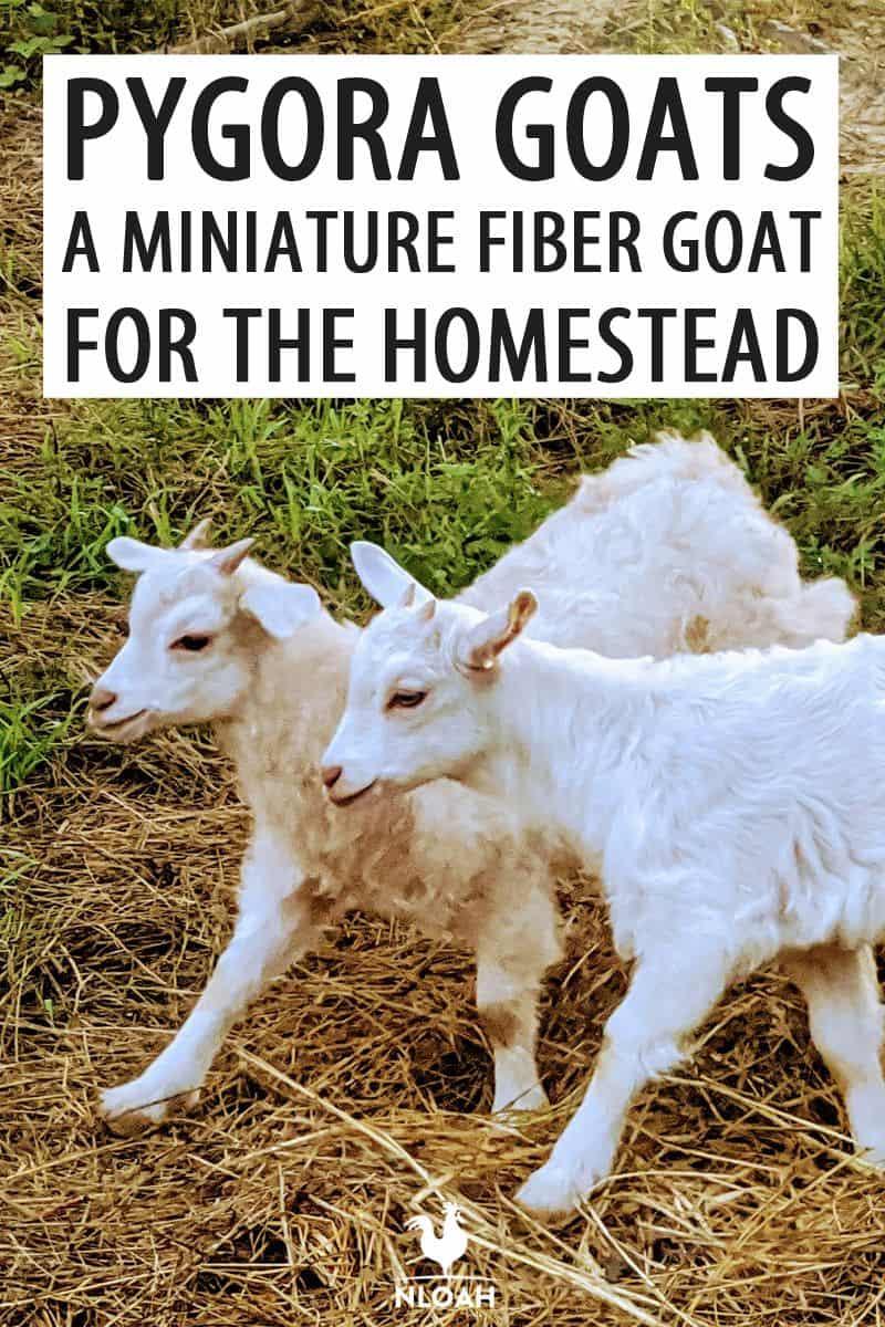 pygora goats pinterest