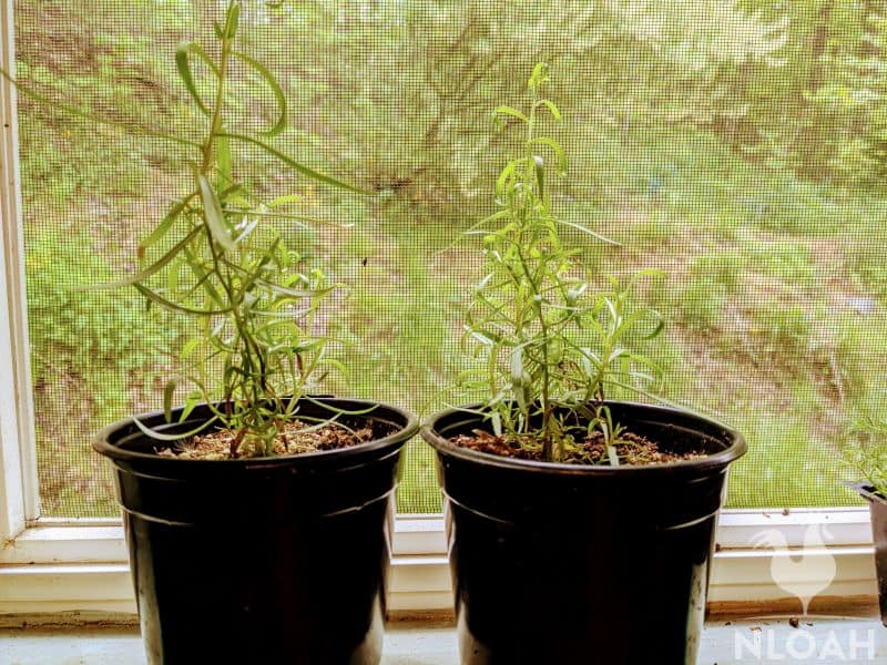 tarragon plants in containers on the windowsill