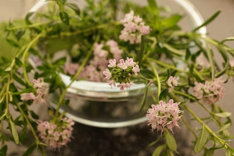 thyme in container