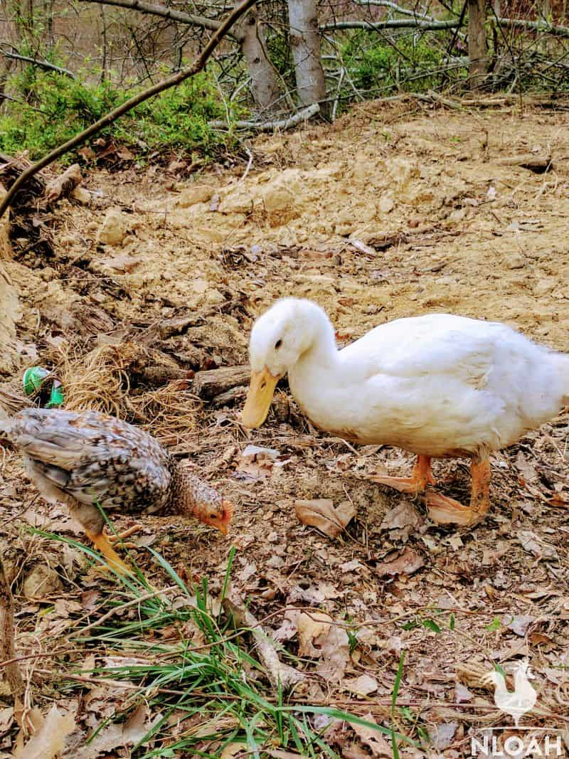 a duck and a chicken foraging for bugs