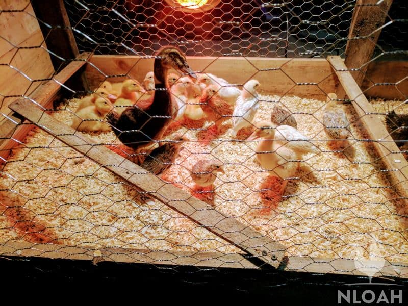 baby chicks and baby ducks in brooder