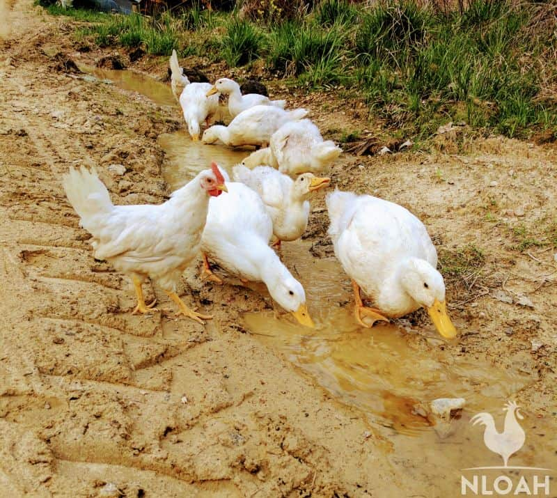 chickens and ducks free-ranging together