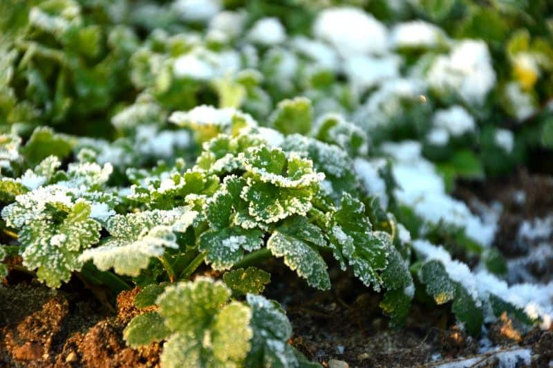 parsley after frost