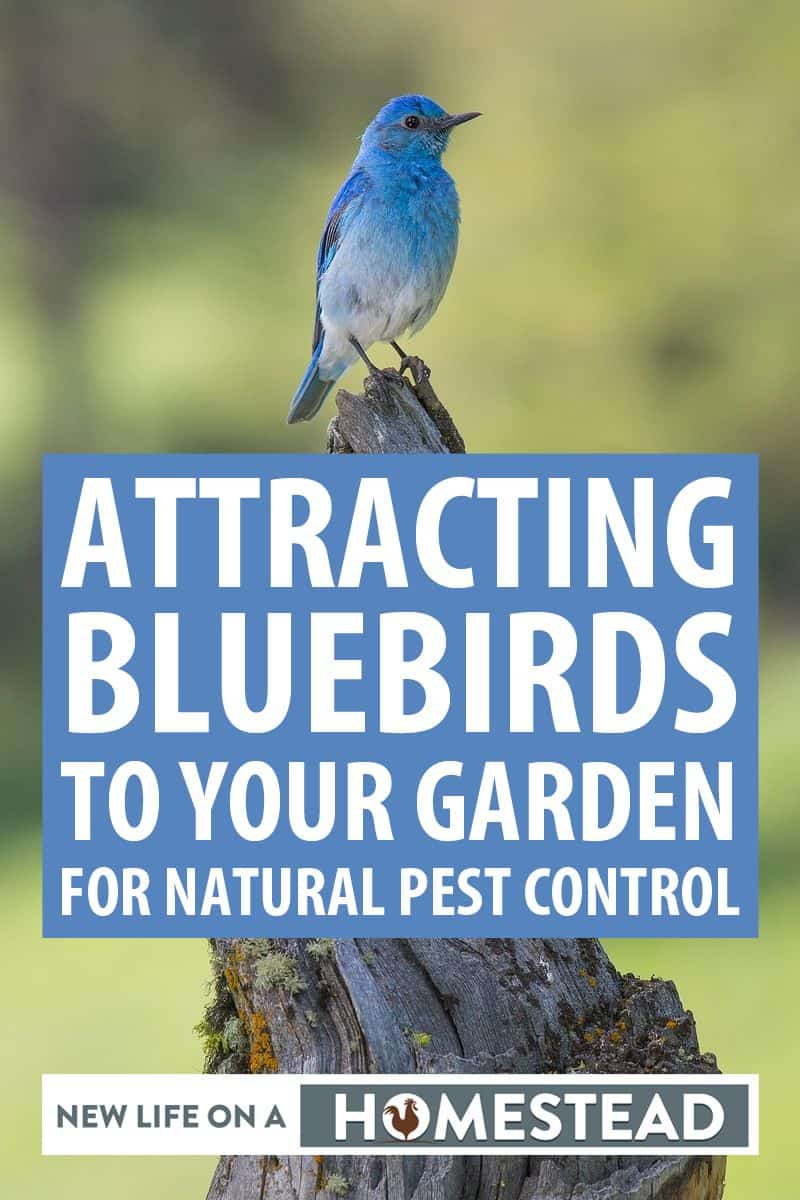 attracting bluebirds pinterest