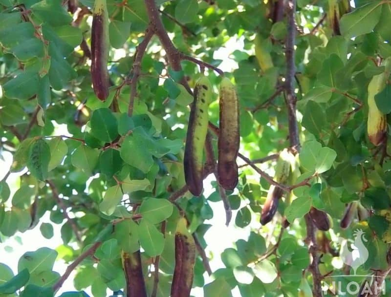 false acacia tree pods on tree Robinia Psuedoacacia
