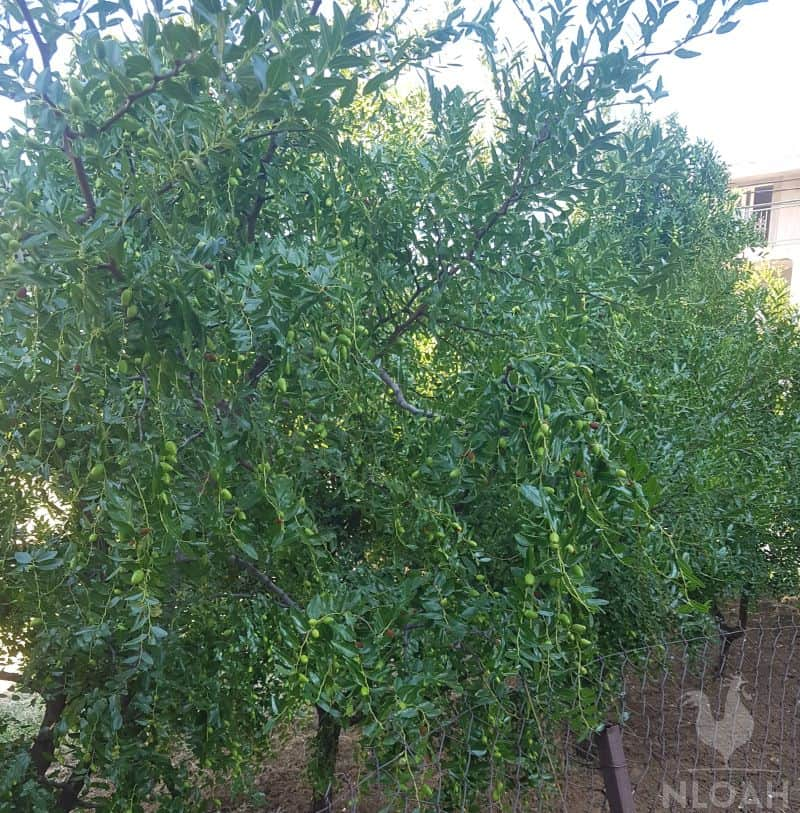loquat tree shrub