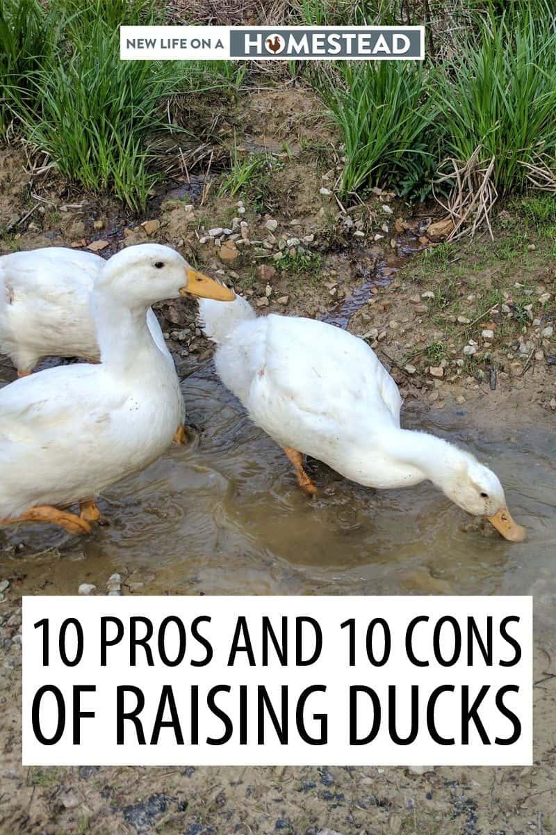 raising ducks pinterest image