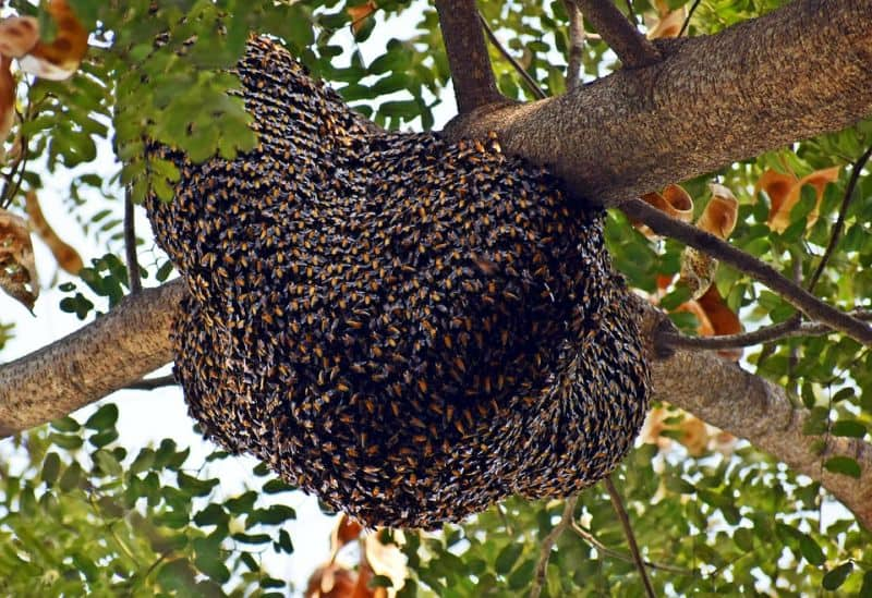 beehive up in tree