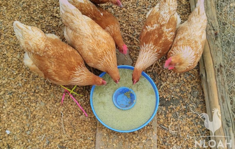 chickens eating fermented feed