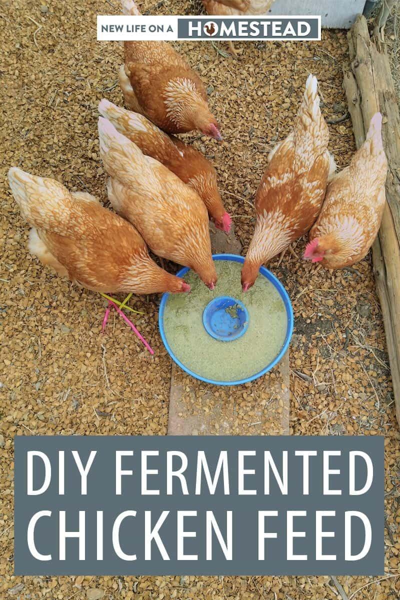 fermented chicken feed pinterest